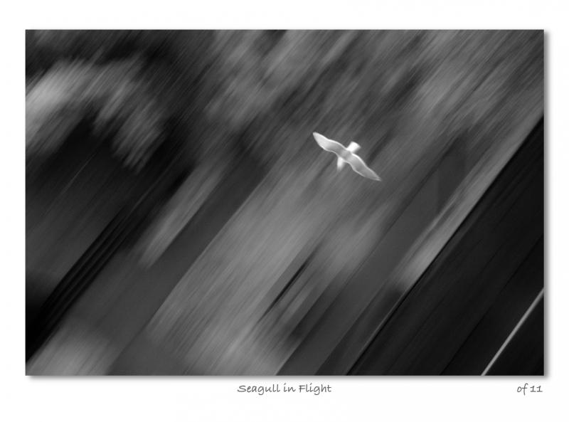 2011-08-Apr-Seagull-in-Flight
